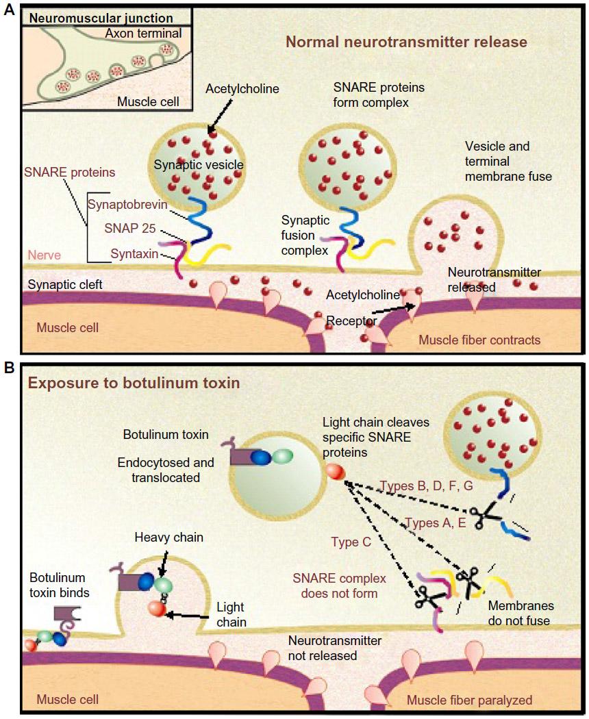 Mechanismus účinku botulotoxinu