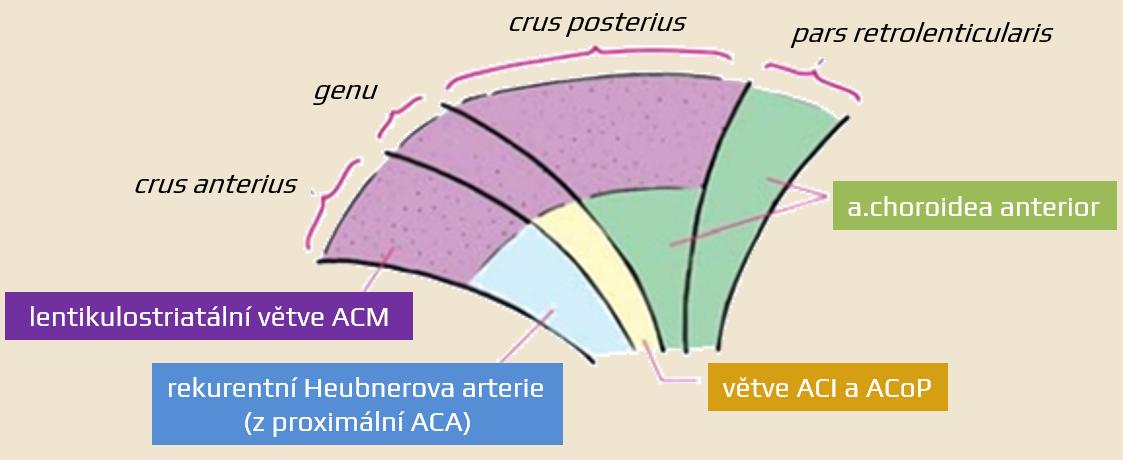 Cévní zásobení capsula interna